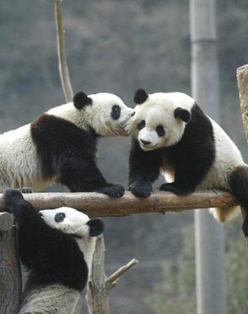 但却是大熊猫的最爱,因为大熊猫是高寒动物,最喜欢冰天雪地,下雪的